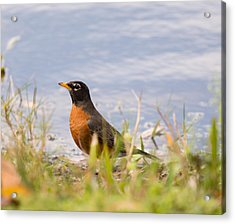 Robin Viewing Surroundings Acrylic Print by John M Bailey