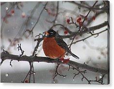 Robin Winter Acrylic Print by Alicia Knust
