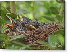 Robins In The Nest Acrylic Print by Debbie Portwood