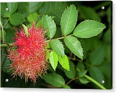 Robin's Pincushion Gall Or Bedeguar Gall Acrylic Print by Nigel Downer