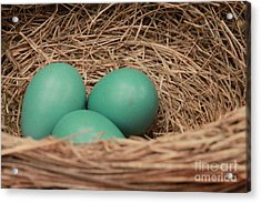 Robins Three Blue Eggs Acrylic Print