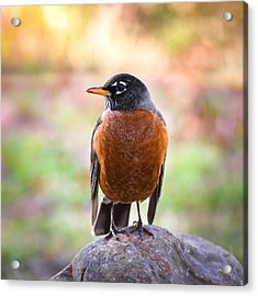 Acrylic Print featuring the photograph Rock-n-robin by Annette Hugen
