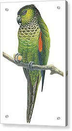 Rock Parakeet Acrylic Print by Anonymous