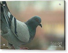 Rock Pigeon Acrylic Print by Jivko Nakev
