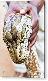 Rock Python Recovered From Poachers Acrylic Print by Peter Chadwick