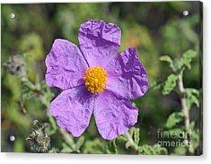 Acrylic Print featuring the photograph Rockrose Flower by George Atsametakis