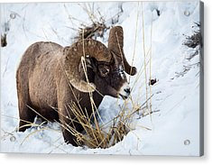 Rocky Mountain Bighorn Sheep Acrylic Print