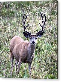 Rocky Mountain Buck Acrylic Print