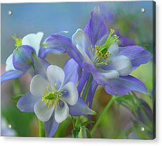 Rocky Mountain Columbine, Colorado, Usa Acrylic Print