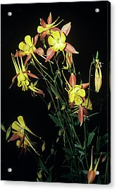 Rocky Mountain Columbine Flowers Acrylic Print by Brian Gadsby/science Photo Library