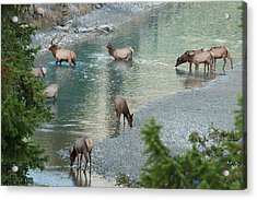 Rocky Mountain Elk Herd Crossing Acrylic Print