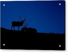 Rocky Mountain Elk Acrylic Print by Jeff Nelson