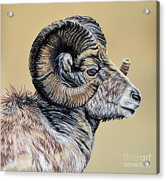 Rocky Mountain Ram Acrylic Print by Ann Marie Chaffin
