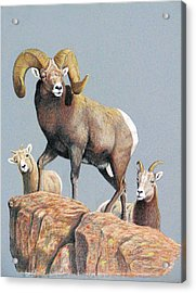 Rocky Mountain Ram Ewe And Lamb Acrylic Print