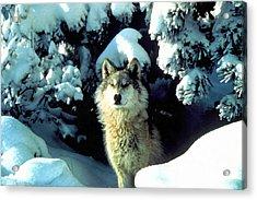 Rocky Mountain Wolf Acrylic Print by Studio Artist