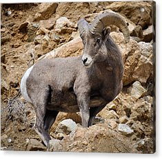 Acrylic Print featuring the photograph Rocky Ram by Kevin Munro