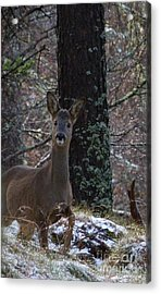 Roe Deer - Surprise Encounter Acrylic Print