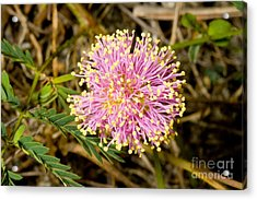 Roemers Mimosa Mimosa Roemeriana Acrylic Print by Gregory G. Dimijian