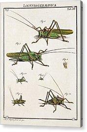 Roesel's Bush-cricket Acrylic Print by Paul D Stewart