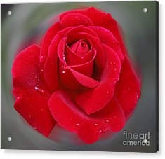 Rolands Rose Acrylic Print
