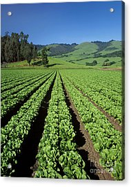 Romaine Lettuce Field Acrylic Print by Craig Lovell