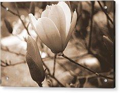 Romantic Vintage Magnolia Acrylic Print by Kay Novy