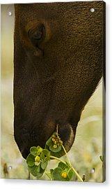 Roosevelt Elk Solemnly Feeding On The Beach Acrylic Print by Phil Johnston