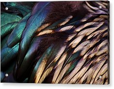 Rooster Feathers Acrylic Print by Paulette Thomas