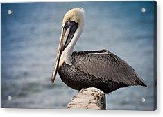 Roosting Pelican Acrylic Print