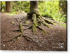 Roots Of Monkey Puzzle Tree Acrylic Print by Colin and Linda McKie