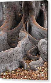 Roots Of The Fig Acrylic Print