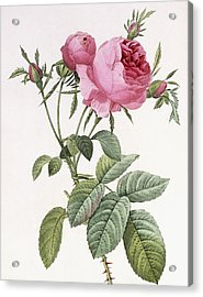 Rosa Centifolia Foliacea Acrylic Print by Pierre Joseph Redoute