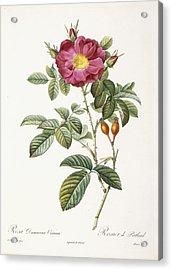 Rosa Damascena Coccina Acrylic Print by Pierre Joseph Redoute