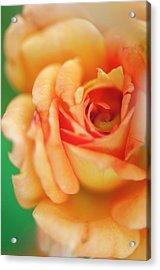 Rosa 'easy Does It' Flower Acrylic Print by Maria Mosolova