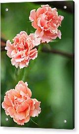 Rosa 'easy Does It' Flowers Acrylic Print by Maria Mosolova