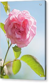 Rosa 'eliza' Flower Acrylic Print by Maria Mosolova