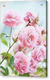Rosa 'eliza' Flowers Acrylic Print by Maria Mosolova