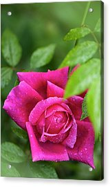 Rosa 'fields Of The Woods' Flower Acrylic Print by Maria Mosolova