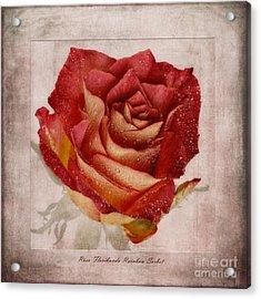 Rosa Floribunda Rainbow Sorbet Acrylic Print by John Edwards
