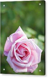 Rosa 'frederic Mistral' Flower Acrylic Print by Maria Mosolova