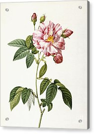 Rosa Gallica Versicolor Acrylic Print by Pierre Joseph Redoute