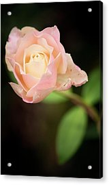 Rosa 'mrs. Dudley Cross' Flower Acrylic Print by Maria Mosolova
