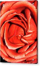 Rosa 'terracotta' Flower Acrylic Print by Ian Gowland