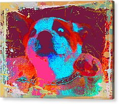 Rosco Belly Up Acrylic Print by Erica  Darknell