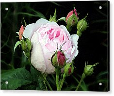 Acrylic Print featuring the photograph Rose 1 by Helene U Taylor