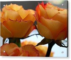 Rose 11 Acrylic Print