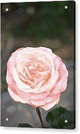 Rose 195 Acrylic Print by Pamela Cooper