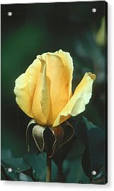 Rose 2 Acrylic Print by Andy Shomock