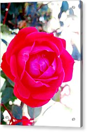 Rose 2 Acrylic Print by Will Boutin Photos