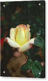 Rose 3 Acrylic Print by Andy Shomock